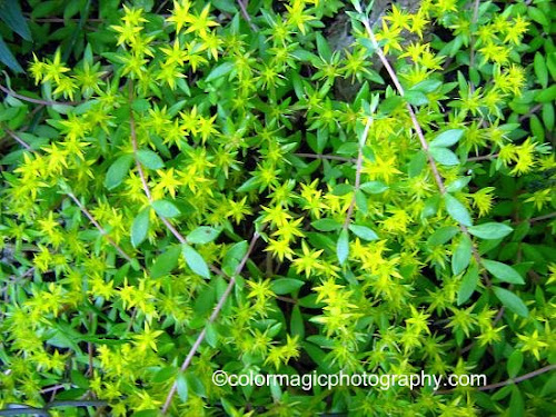 Flowering gold moss-Sedum sarmentosum