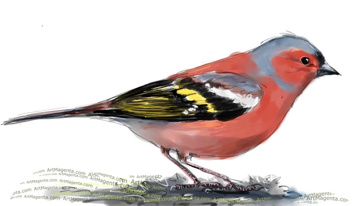 Chaffinch sketch painting. Bird art drawing by illustrator Artmagenta