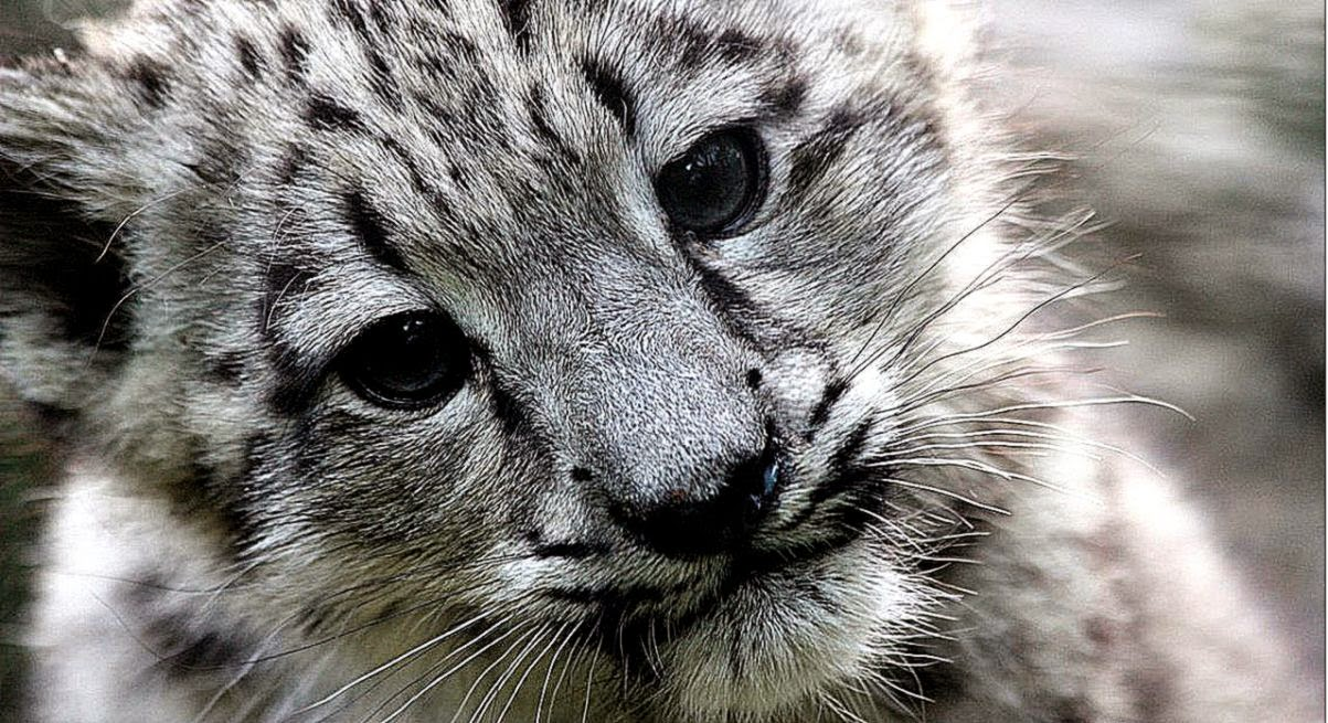 Beautiful Snow Leopard Wallpaper Free Hd Wallpapers