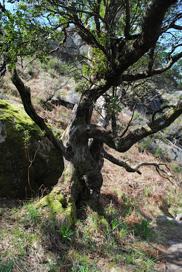 Medronheiro - também conhecido entre as gentes de Terras de Bouro por Ervedeiro