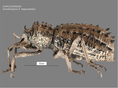 Acantholophus cf. tragocephalus
