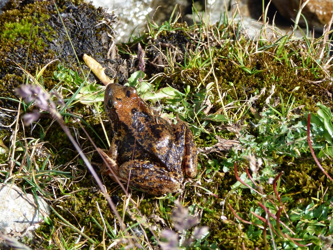 A frog found at 2,400 metres