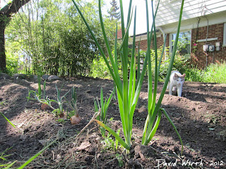 onion growing, garden, cat, how to grow onion, bulb