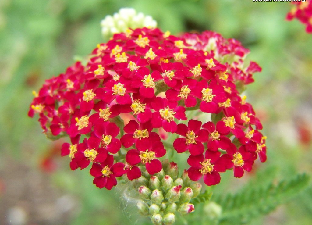 ruby yarrow flower yellow yarrow flowerYellow Yarrow Flower