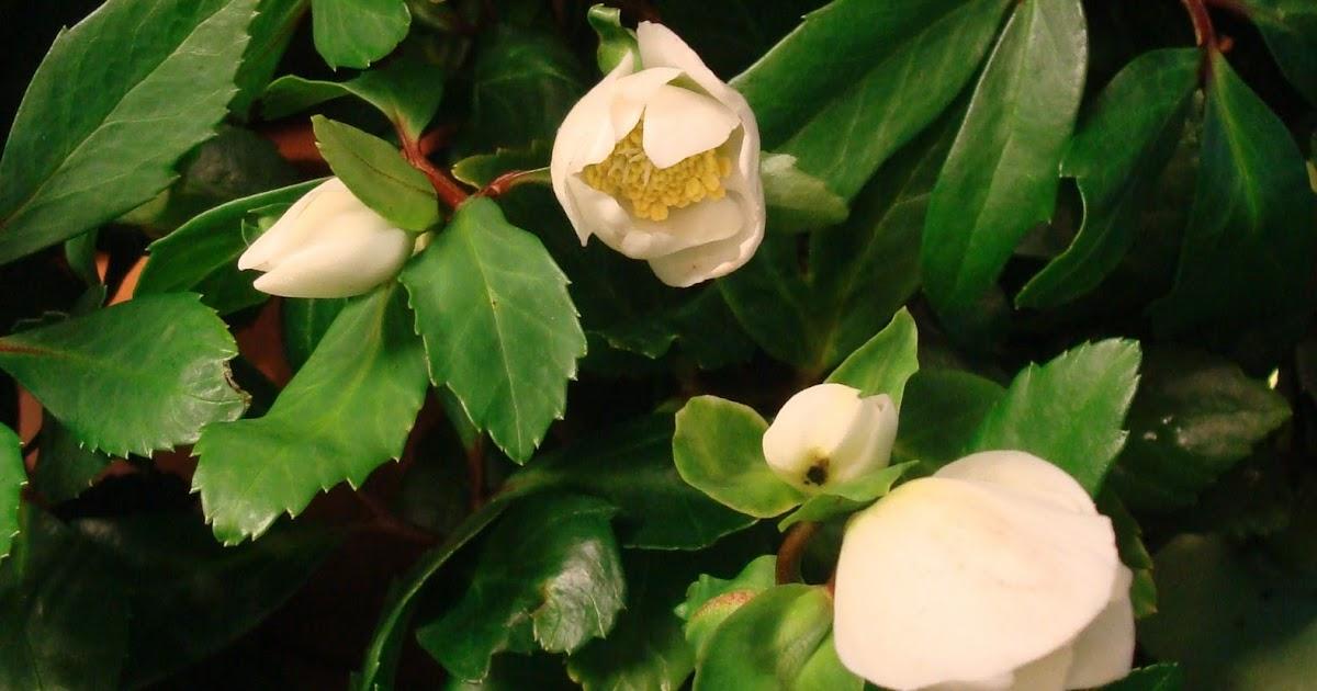 Fleuriste isabelle feuvrier les plantes d 39 hiver pour l for Plantes exterieur hiver