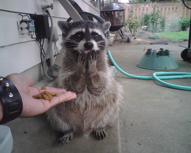 funny raccoon is shy, funny animal pictures of the week