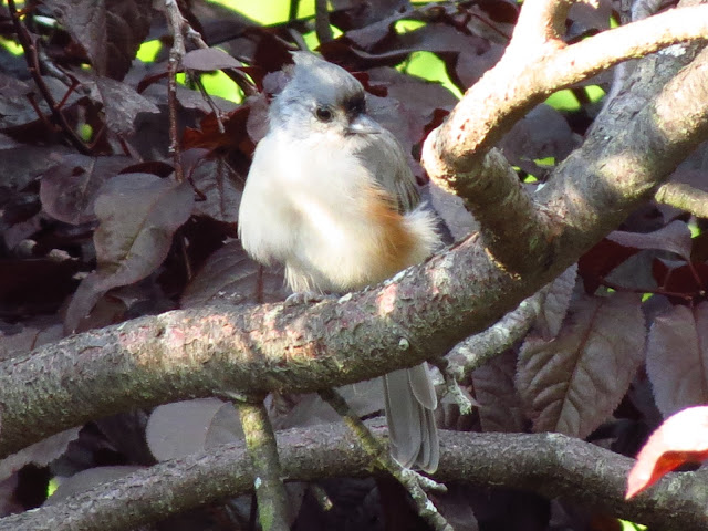 tufted titmouse another view
