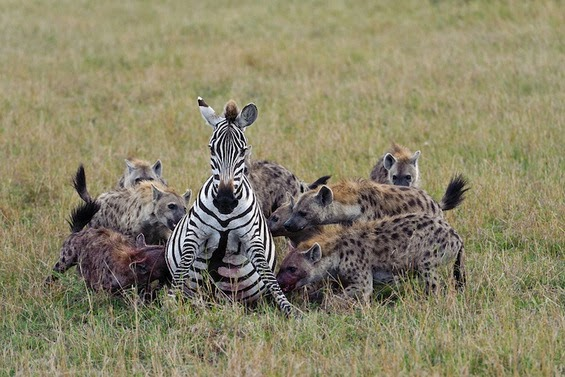 Hyena Group Hunting Zebra