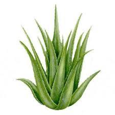 Prirodni lijekovi - ljekovito bilje: Aloa vera - prirodni lijek