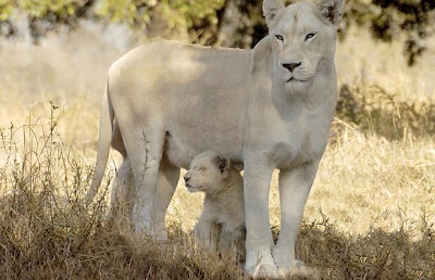 White Lions life and picture