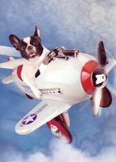 bulldog frances=viagem=avião
