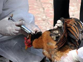 Tiêm vaccin cho gà. Ảnh minh hoa.