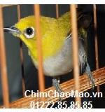 Chim Chao Mao, Chim Vanh Khuyen Com