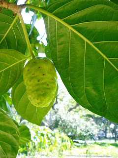 There is not much research on Noni fruit