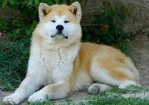 Akita Inu, caratteristiche della razza