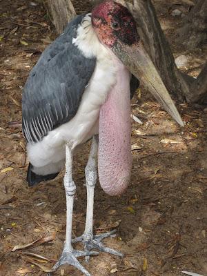Marabú del zoo de Dakar