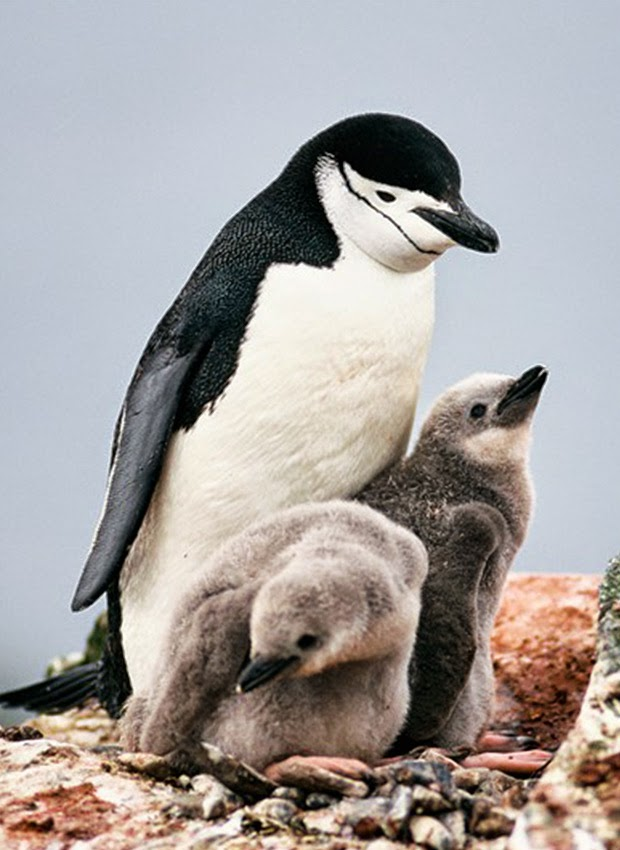 Chinstrap penguins: