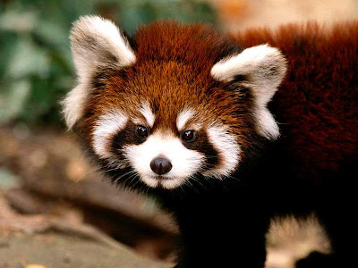 funny-red-panda-picture