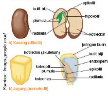 Gambar2.4 Embrio Tumbuhan