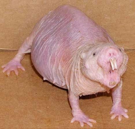 Animaux étranges le Rat-taupe nu