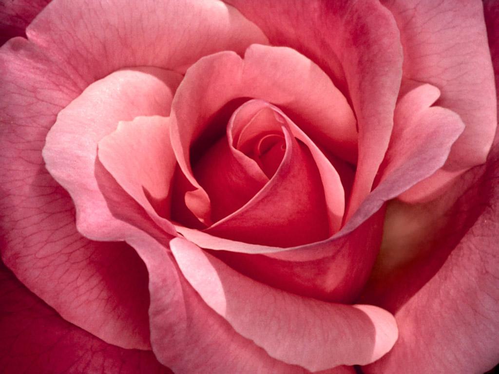 Pershendetje me nje lule per nje anëtarë? - Faqe 5 Pretty_in_pink,_roses