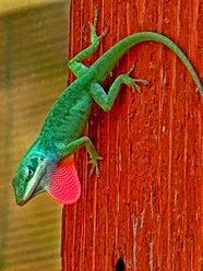 anole on porch