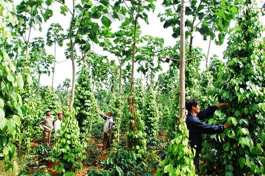 Kỹ thuật trồng hồ tiêu trên cây trụ sống