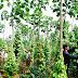 Kỹ thuật trồng hồ tiêu trên cây trụ sống (Chăm sóc cây trồng)