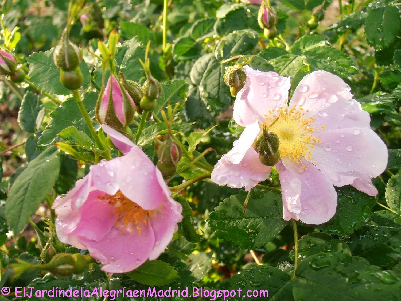 El jard n de la alegr a las especies rosales silvestres for Jardin los rosales