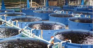 cara budidaya ikan lele,ternak lele sangkuriang organik,sangkuriang,sangkuriang di kolam tanah,di kolam terpal,dalam drum,di kolam tembok,budi daya ikan lele sangkuriang,