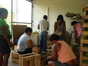Agricultoras encaixotando banana .