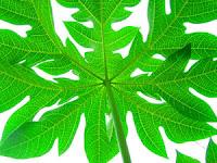 cara-menghilangkan-jerawat-daun-pepaya