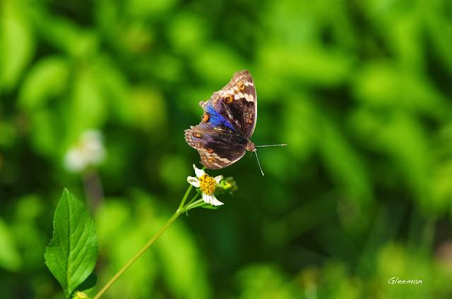 雞南山的青眼蛺蝶