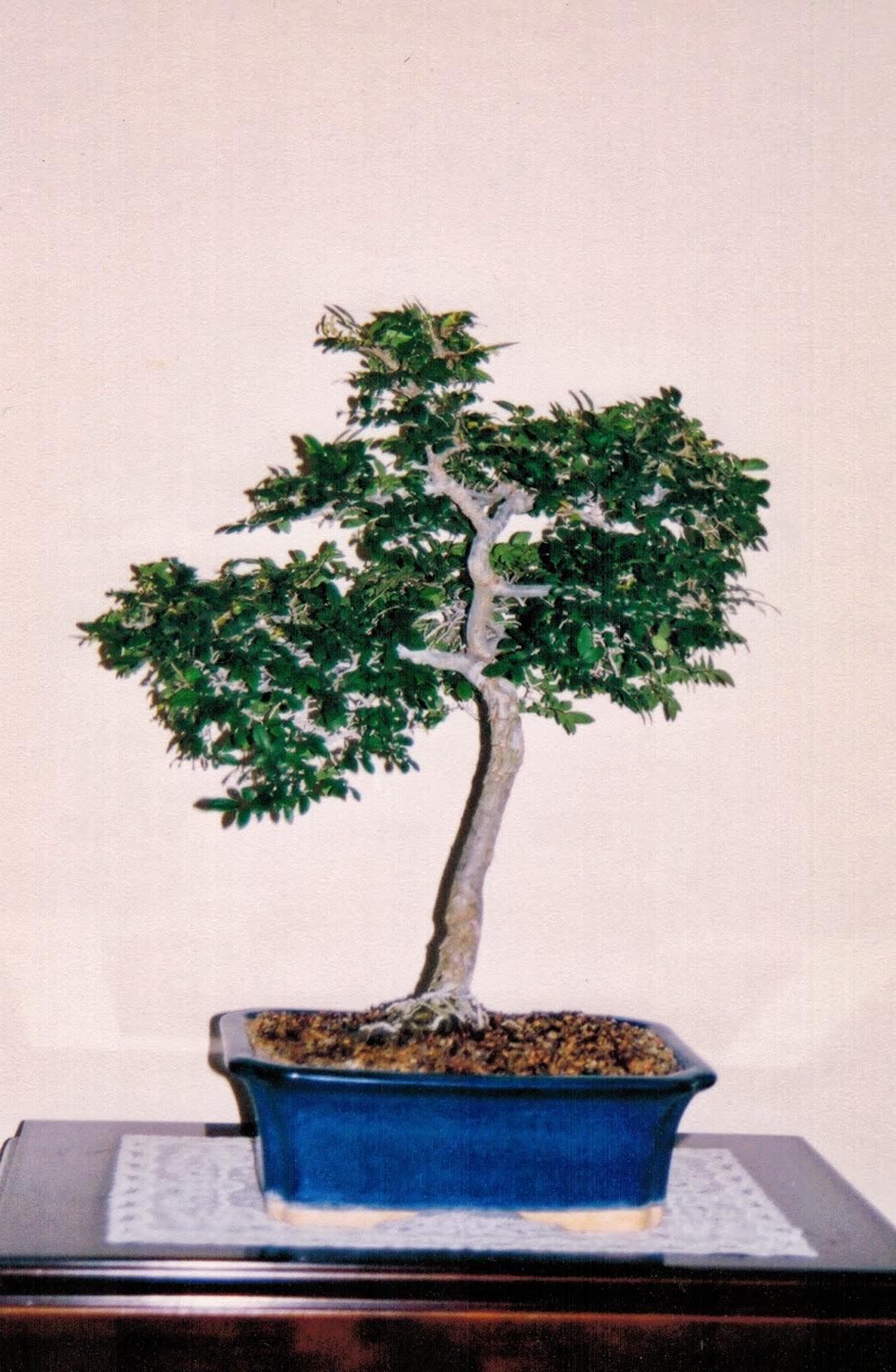 Wayne Nguyen Bonsai Chinese Elm