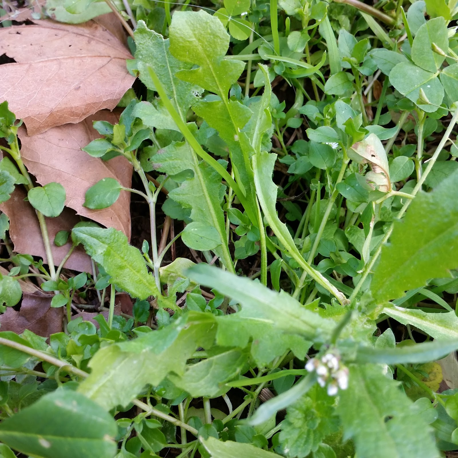 Soil Beneath My Fingers Edible Weeds Plant Identification