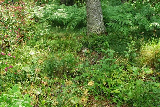Muonamiehen mökki - Metsäpuutarha ennen ehostusta