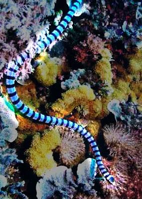 A cobra mais venenosa do mundo a cobra do mar
