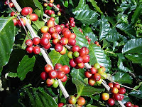 Coffee-Production-Brazil