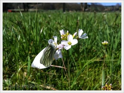 Falter und Wiesenblümchen