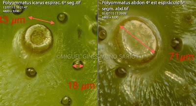 Polyommatus abdon y Polyommatus icarus  espiráculos