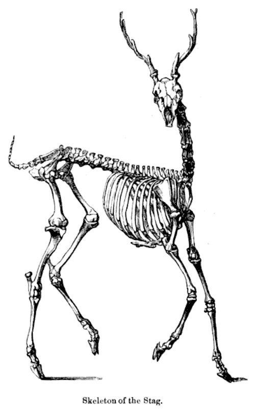 Counterbalanced Cranium (Skeleton of the stag)