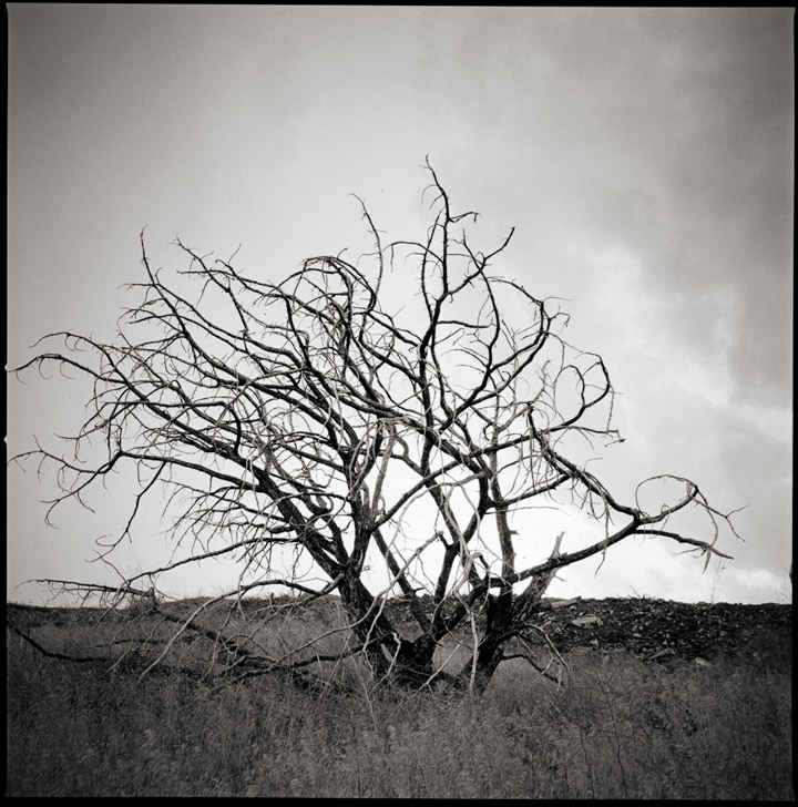 Dead Tree Black and White Photo