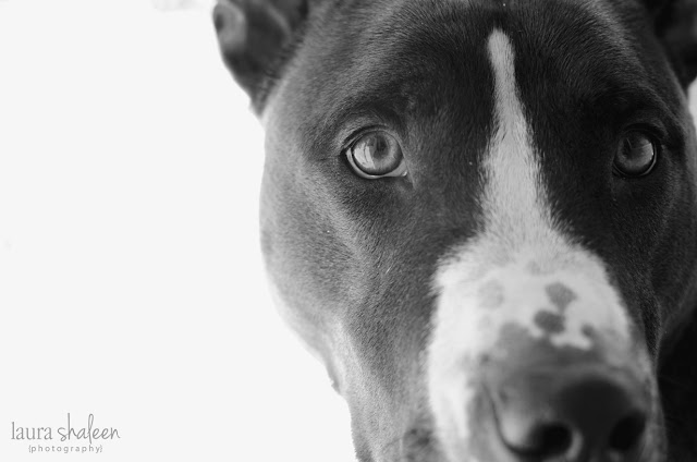 black and white, pit bull