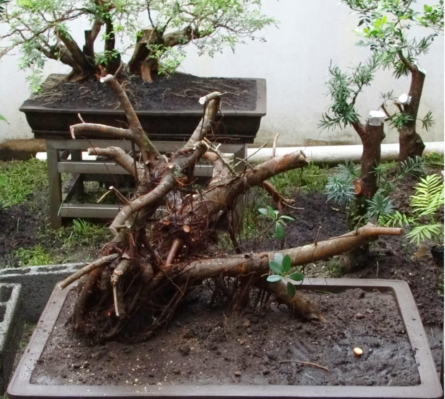 Penjing bonsai estilo cultura de china en panam artes - Como cultivar bonsais ...