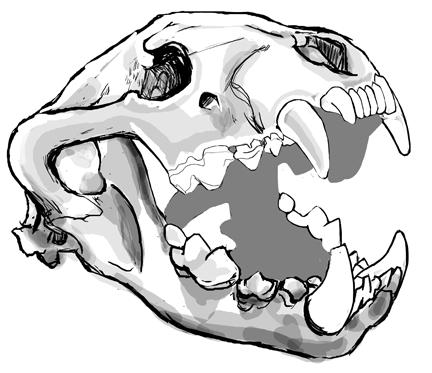 Bear Skull Drawing Grizzly Bear Skull Dra...
