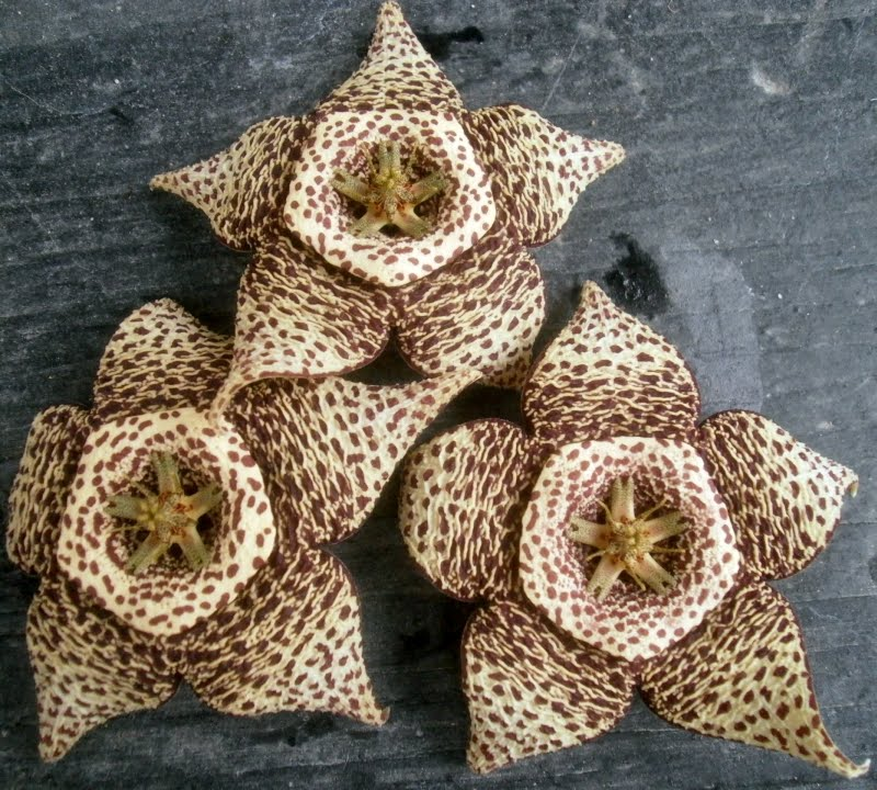 Plants are the strangest people unfinished business for Stapelia variegata