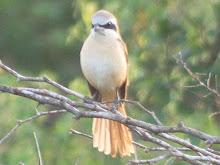 Brown Shrike, male