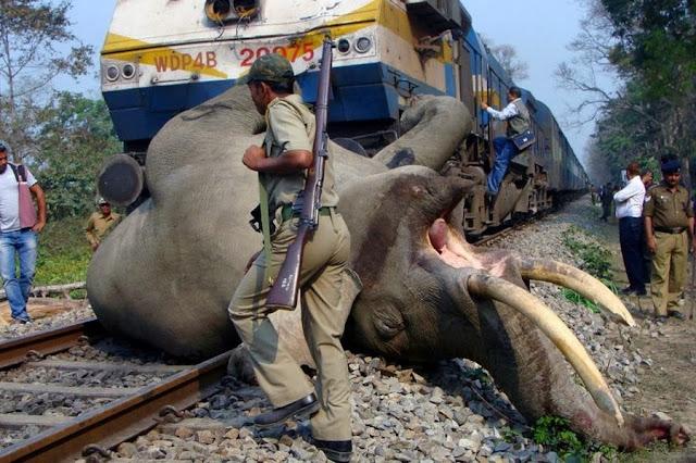 Поезд сбил слона рядом с индийским заповедником Букса