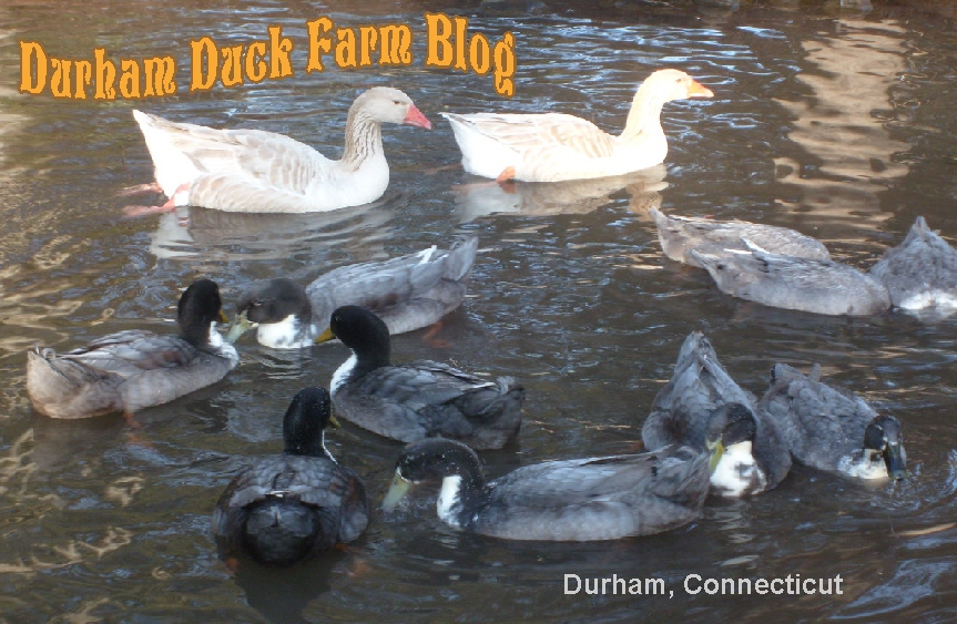 The Durham Duck Farm Blog