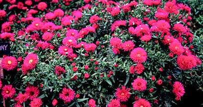 Piante e fiori piante perenni che fioriscono in autunno e for Piante da giardino perenni pieno sole